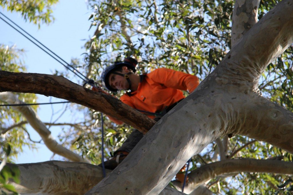 tree trimming maitland