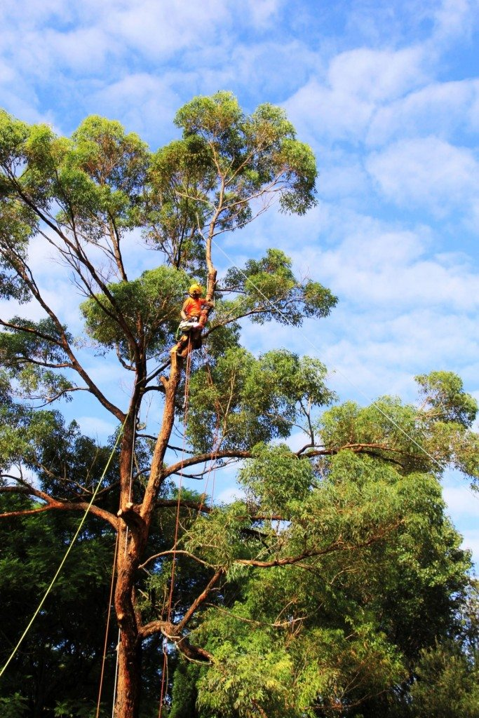 Tree removal Maitland